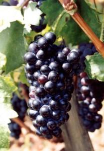 Trauben Wein Mesenikolas Plastira See Karditsa
