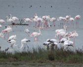 Auf Korfu läuten die Flamingos Frühling ein!